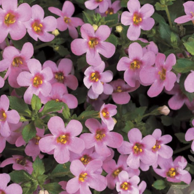 bacopa pink