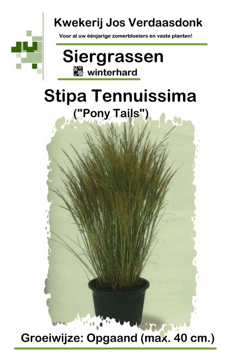 3Stipa tenuissima Mexican feather grass